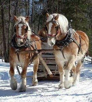 Draft horses pulling a sleigh through the snow.