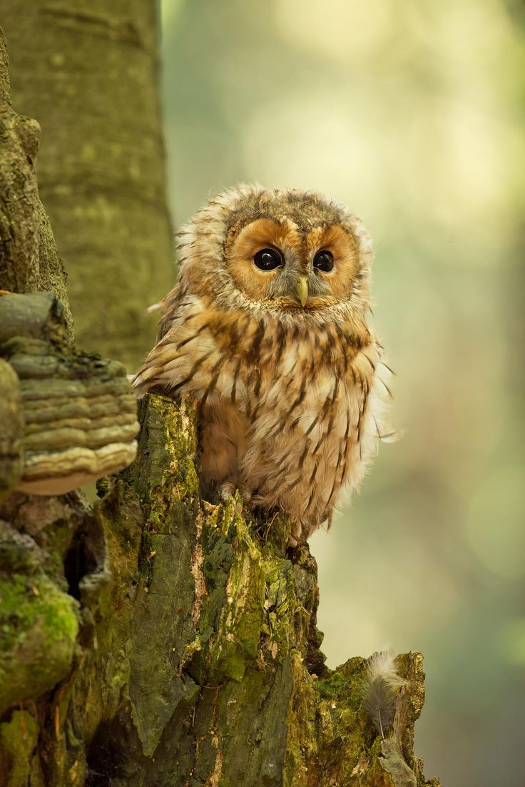 Tawny Owl by Milan Zygmunt on 500px. How can we not love owls?! Via Billy Frank Alexander Design