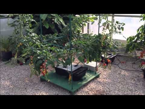how to grow cherry tomatoes hydroponically