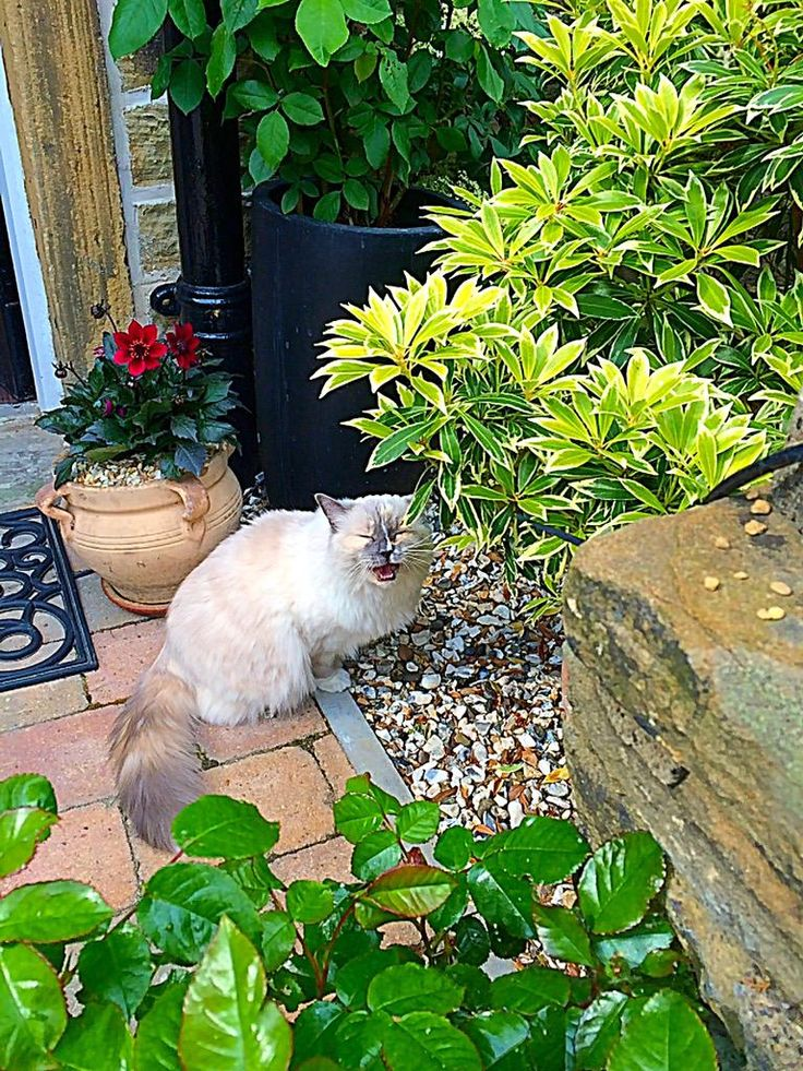 Ragdoll cats yorkshire