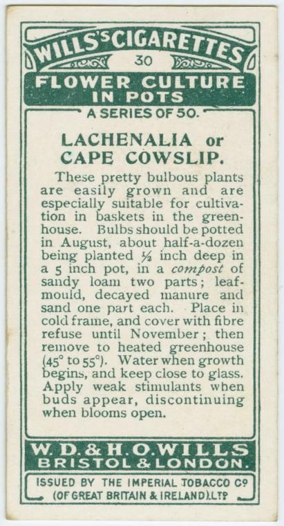 TITLE Lachenalia. COLLECTION Cigarette cards Flower culture in pots DATES / ORIGIN Place: U.K. LIBRARY LOCATIONS George Arents Collection Shelf locator: Arents Cigarette Cards Shelf locator: Arents Cigarette Cards 921