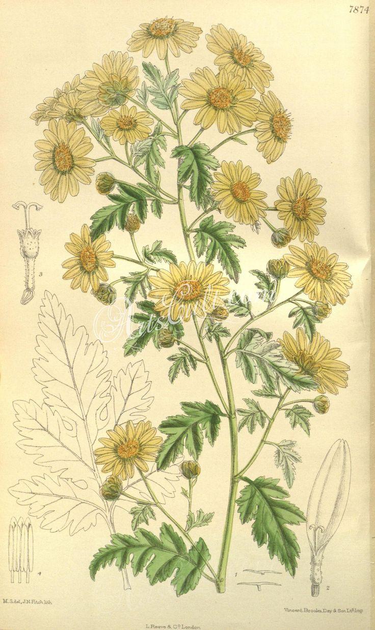 7874-chrysanthemum indicum      ...