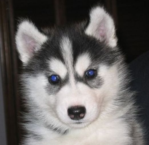 alaskan husky puppies | Black white alaskan husky puppy with pretty dark blue eyes.PNG