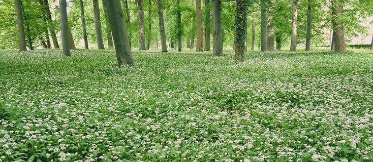 Wild garlic (Allium ursinum) in the forest #wildgarlic #ramsons #woodgarlic #alliumursinum #baersgarlic #beatiful #organic #environmental #flowers