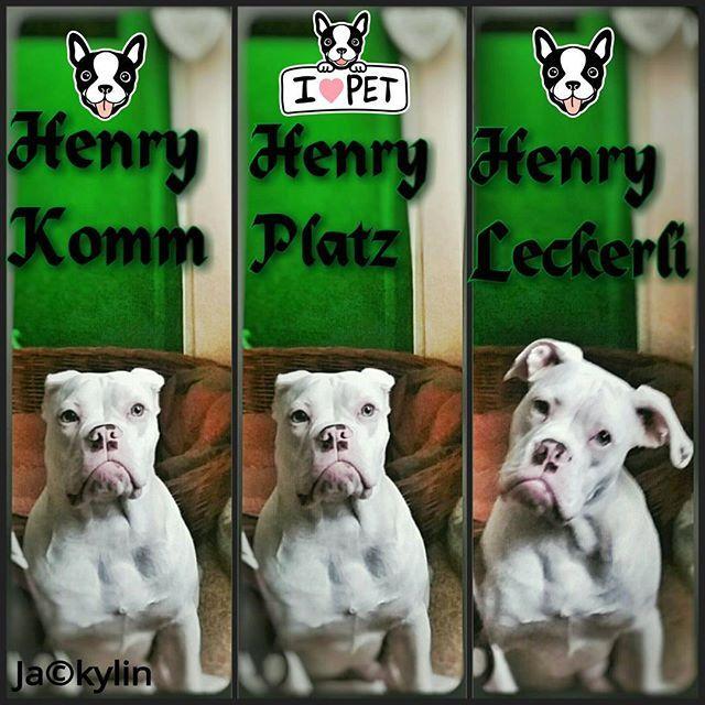 Manche Hunde Besitzer kennen es 😂😂😂😂😂😂😂😂😂😂😂😂 Mein Kampfschmuser/Kampfknutscher kann es 1A+* 🐶🐶🐶🐶🐶🐶🐶🐶🐶🐶🐶🐶🐶 #oeb #oldeenglishbulldogge #dog #dogsofinstagram #puppydog #cutedogs #cutedog #lovemydog #dogs #dogstagram #fundogs #sitz #platz #leckerli #berlin #berlindog #berlindogs #dogstagraming #dogpuppy #erhörtaufswort #funpics #🐶 #😂 #beifuss #bulldogs #bulldogsofinstagram #bulldoglove #bulldoglife