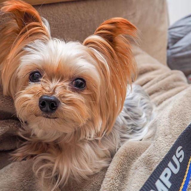 新年明けましておめでとうございます。 2017年は今までとは大きく環境が変わるので、不安もありますがそれ以上の期待でワクワクしてます。  実家で過ごす久しぶりのお正月。 可愛い愛犬に癒されまくってます。 #ファインダー越しの私の世界#写真撮ってる人と繋がりたい#写真好きな人と繋がりたい#カメラ好きの人と繋がりたい#ミラーレス#オリンパス#オリンパス倶楽部#カメラ#カメラ男子#東京カメラ部#ヨークシャテリア#犬#愛犬#うちの子1番#dogstagram#dog#yorkshireterrier#yorkie#omdem10mkii#OLYMPUS#OMD