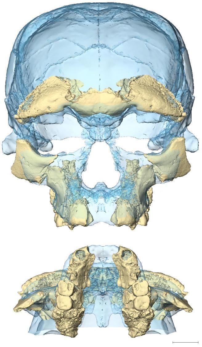 Reconstrucción del cráneo de los primeros Homo sapiens, que vivieron en Marruecos hace unos 315.000 años. La imagen muestra la superposición de los fósiles de dos cráneos, uno en azul y el otro en beige.