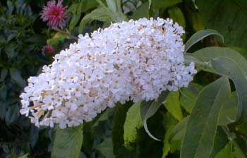 Buddleia dadivii - Budleia dadivii alba - Arbusto de borboleta  - 10 sementes