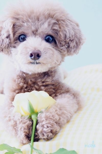 poodle She loved all her babies! Her last baby Angel Girl which we have now misses her momma very much! AngelGirl is a 11/2 toy poodle so sweet,she looks like this one.