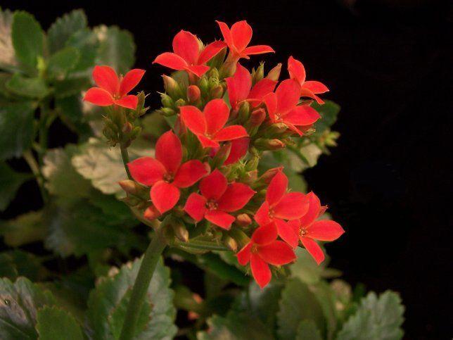 Kalanchoe Blossfeldiana Global Habitat Resources Inc San Go Ca 92101 Tel Plant Propagationflower Namessucculent Plantsdeliciousred