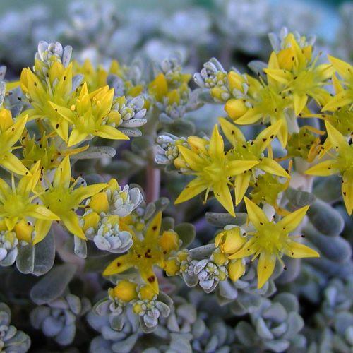 SEDUM spathulifolium 'Cape Blanco' (Sédum - Orpin) : Vivace à feuilles charnues. Difficile d'imaginer des plantes plus accommodantes, particulièrement en sols secs et rocailleux. Malgré leur popularité, beaucoup restent encore à découvrir dans les utilisations les plus variées. Tapis dense régulier. Nombreuses petites rosettes de feuilles gris argenté, belles en toute saison. Fleurs jaunes.