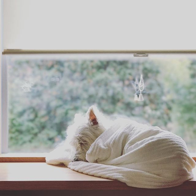 Westie's love to be wrapped up, especially at night.