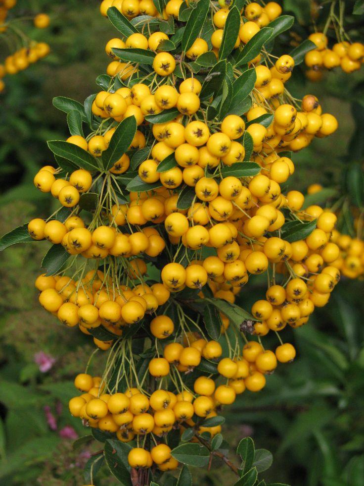 Yellow firethorn