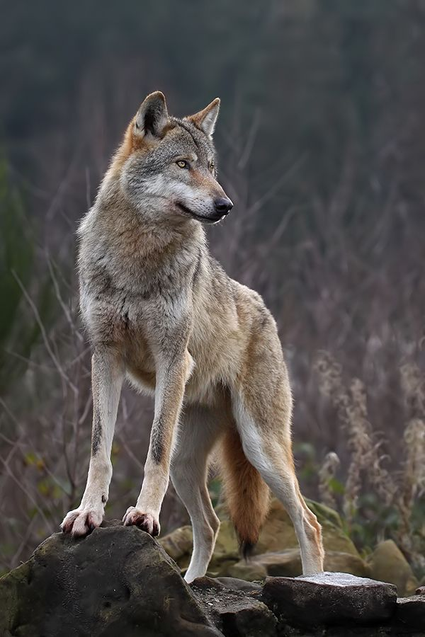 Alpha Wolf. by Jaroslaw Miernik on 500px*