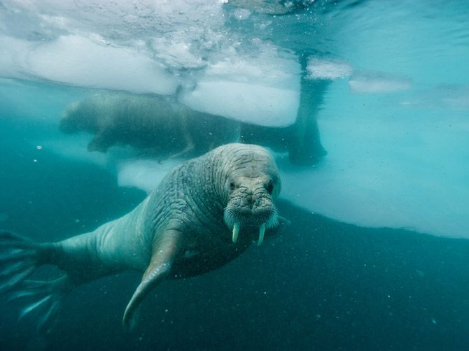 Photograph by Paul Nicklen Atlantic walruses swim amid the ice floes off Greenland's coast.
