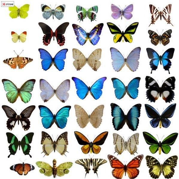 butterfly types - Google Search