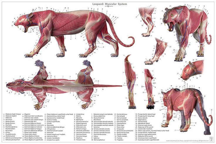 ArtStation - Leopard anatomy model, Jun Huang