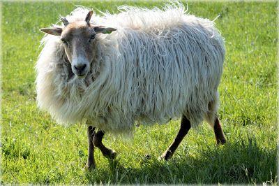 Coisas de criança!: O carneiro revoltado. Linda historinha para trabal...
