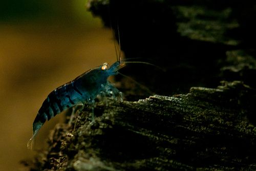 Blauwe Tijger