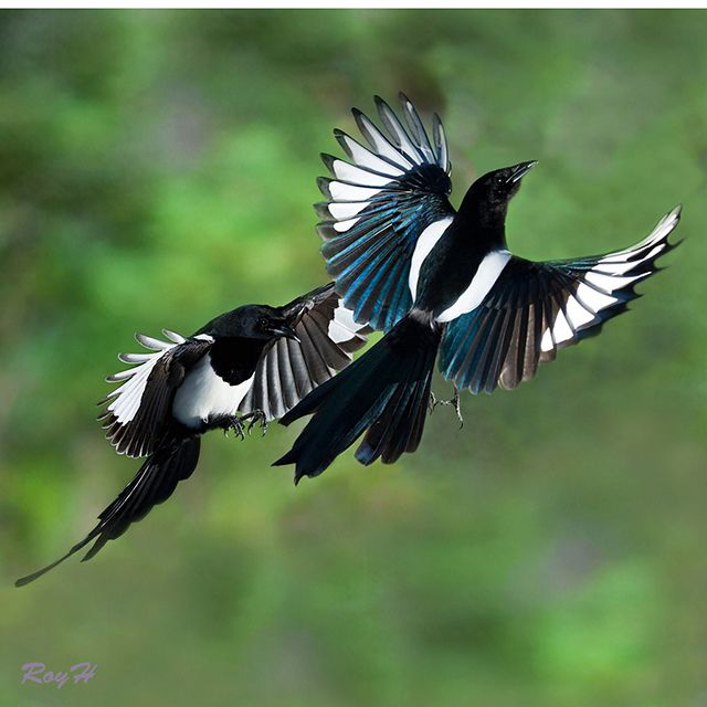 magpie 2 for joy