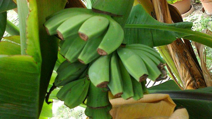 Banán,