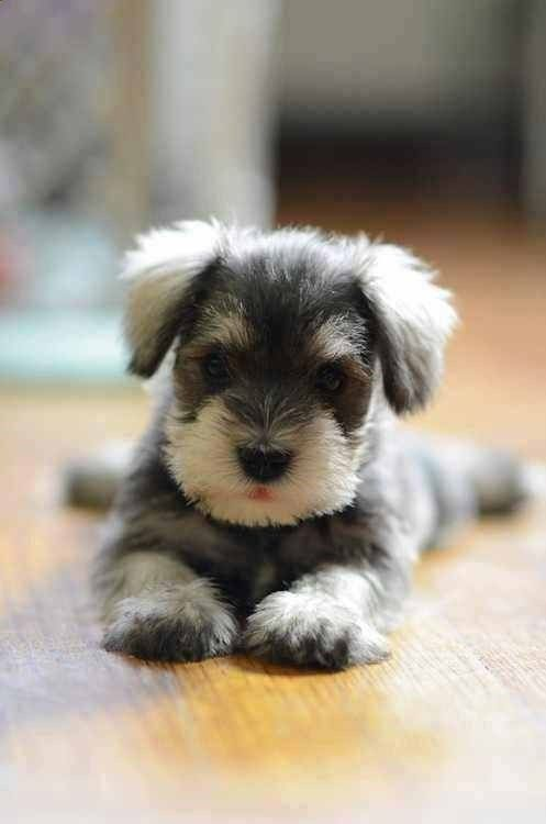 Mini Schnauzer- not one for little dogs but this is the CUTEST THING EVER