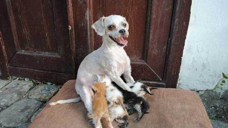 """Amasya'da insan dostuna ait pansiyonda yavru kedilere annelik yapan """"Çirkin"""" isimli köpek bu zamana kadar 40 kedi yavrusunu büyüttü. Detaylar ajanimo.com'da.. #ajanimo #ajanbrian"""