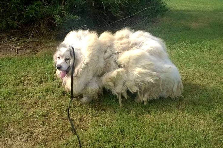Dog trapped in barn finally gets 35lbs of fur removed Story: https://www.thedodo.com/dog-who-lived-in-barn-stall-haircut-2000317093.html Pics taken from https://www.facebook.com/mandabrooke928/photos Credit: Big Fluffy Dog Rescue (thedodo article uses same pics from FB profile but credits them Big Fluffu Dog Rescue so best to do same)