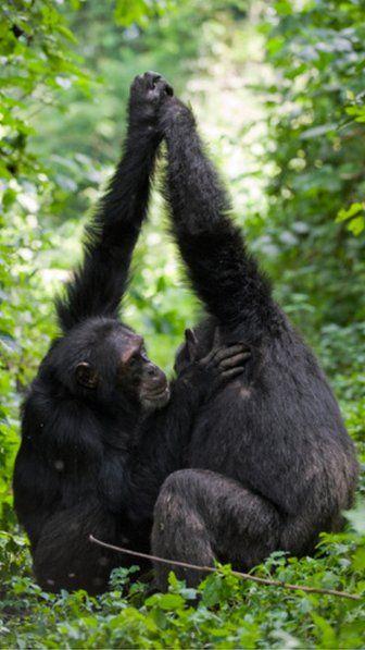 Grooming hand clasp behaviour establishes close social bonds