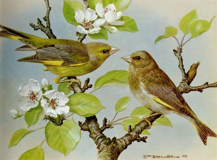 Basil Ede (b.1931) - Greenfinch