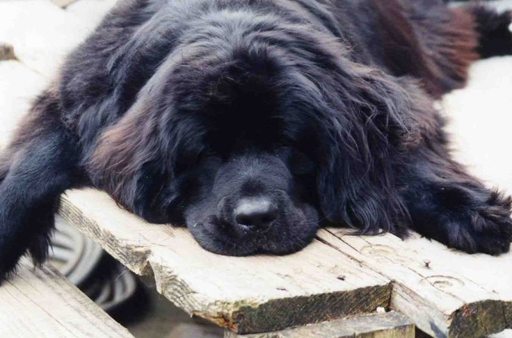 Newfoundland Dogs - big teddy bear ...........click here to find out more http://googydog.com