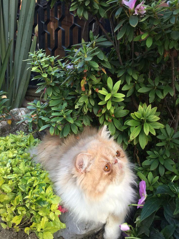 Gato Persa Calico  http://www.gatospersas.com.mx