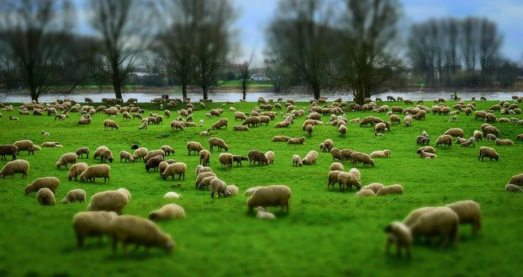 Sheep, Flock, Flock Of Sheep, Wool, Hats, Pasture