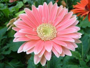 Gerbera Daisy: Not only do these gorgeous flowers remove benzene from the air, they're known to improve sleep by absorbing carbon dioxide and giving off more oxygen over night.    Great house plant for a kids bedroom