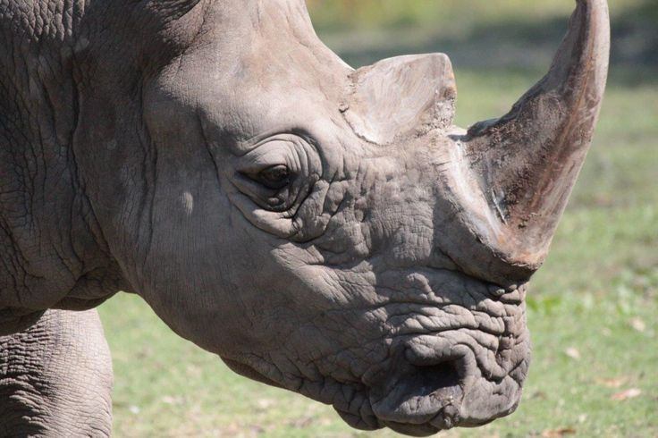 Southern White Rhinoceros, Mammal, Animal Messages, Totems, spirit-animals.com