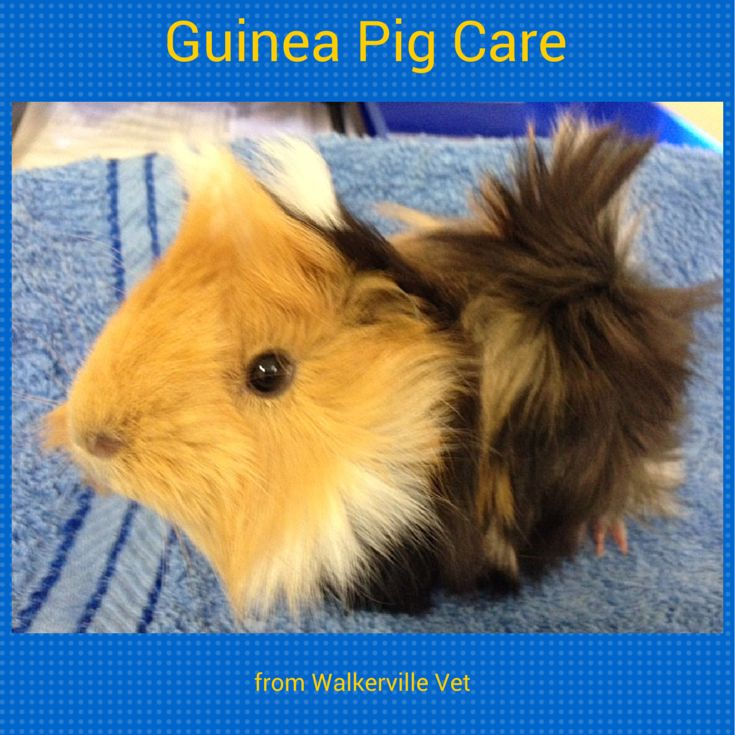 Guinea pigs are harder to look after than most people think. If you do it right.
