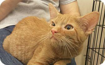 Cherry Hill, NJ - Domestic Shorthair. Meet Frito, a kitten for adoption. http://www.adoptapet.com/pet/16688938-cherry-hill-new-jersey-kitten