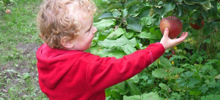 Äpfel pflücken im Alten Land | Herzapfelhof