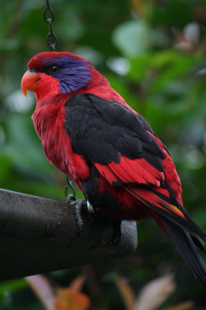 Loris - Aves exóticas | Mascotas