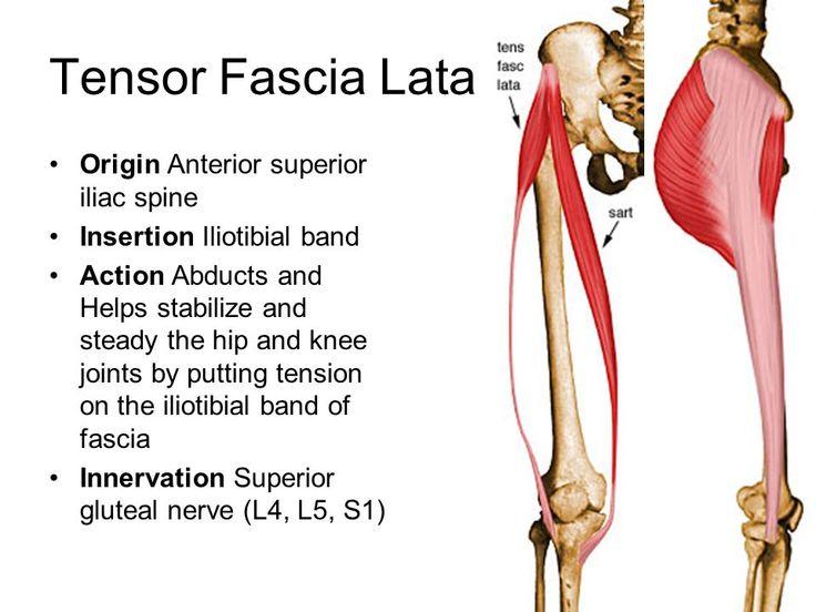 tensor fasciae latae origin and insertion - Google Search