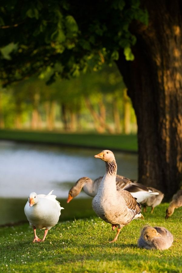 Country Living - geese by the pond