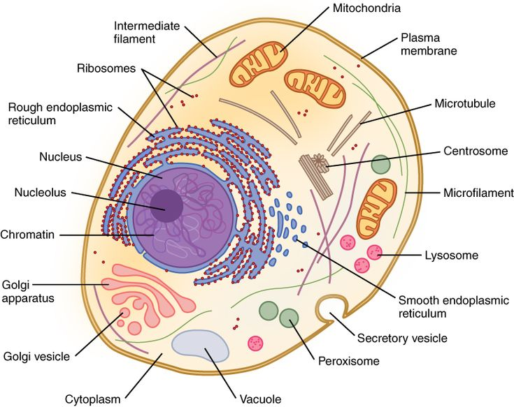 Animal cell diagram labeled