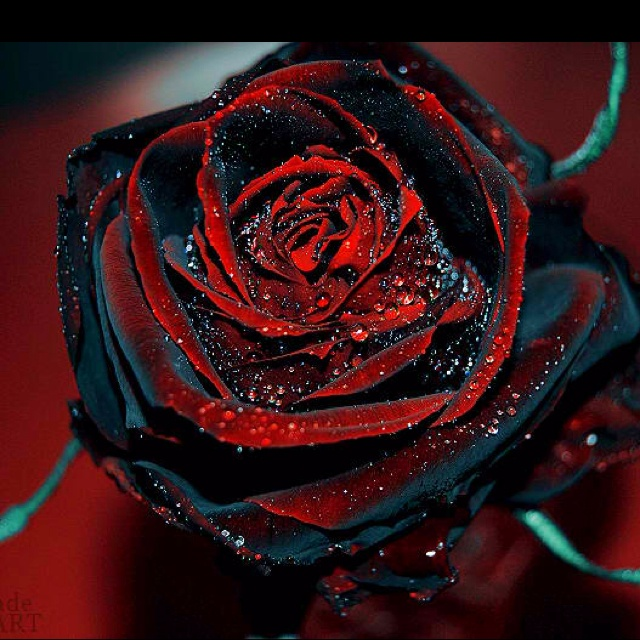 Red Black Rose Black Rose Flower Rose Seeds Rose Bush