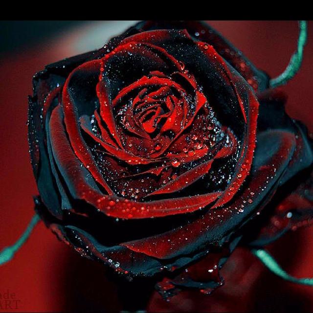 25 best ideas about black rose flower on pinterest for Do black roses really exist