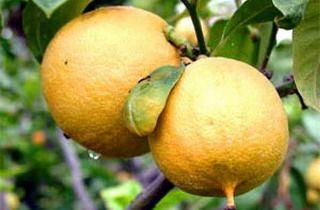 Растение бергамот: фото и полезные свойства, выращивание и возможный вред здоровью