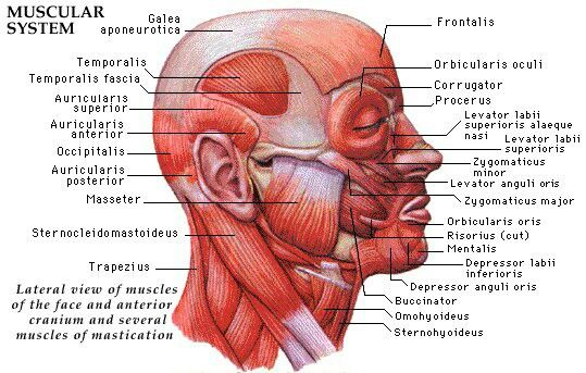 knowing what muscles exist on the face opens the doors to, Human Body