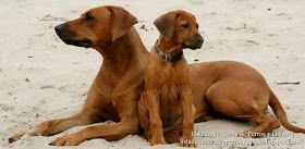 Foto de una hembra de Perro Crestado Rodesiano (Rhodesian Ridgeback) con su cachorro en la arena de la playa. Raza de perros (Photo of a female Rhodesian Ridgeback (African Lion Hound) with puppy on the sandy beach. Breed of dogs).
