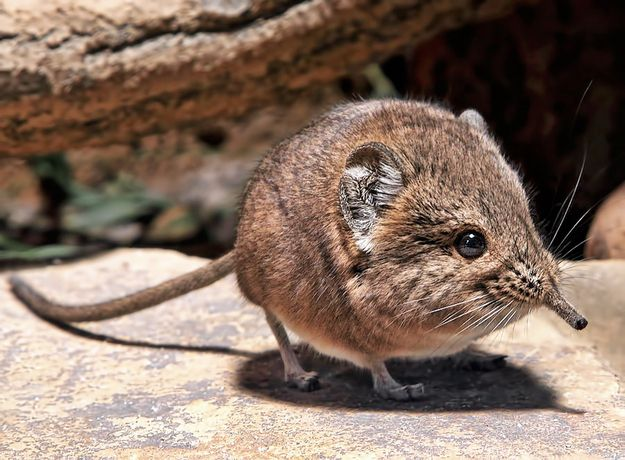 The elephant shrew's closest relative isn't a shrew — it's actually an elephant.   The 35 Cutest Facts Of All Time