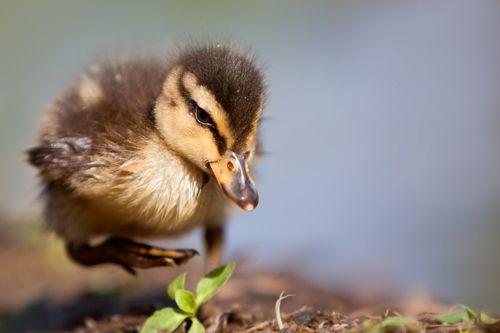 Duckling: Minis Ducks, Baby Ducks, Art, Stefano Ronchi, Determination, Mallard Ducklings, Animal Hour, Photo, Gears