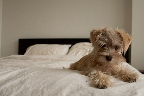 Snugglebug: Beds, Little Puppies, Teddy Bears, Pets, Baby, Toys Schnauzers, Fluffy Puppies, Little Dogs, Animal